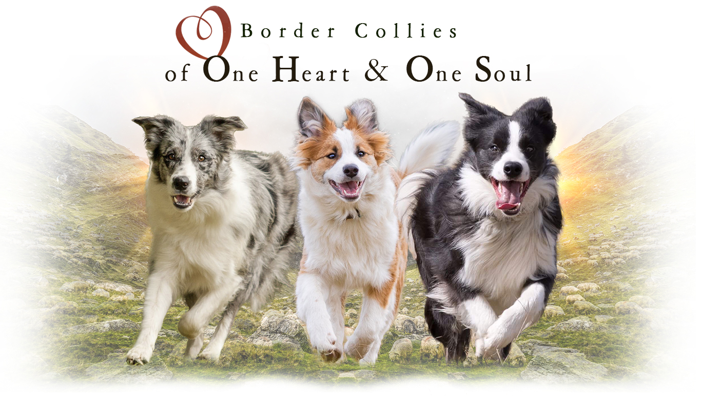 Border Collie Zucht of One Heart and One Soul